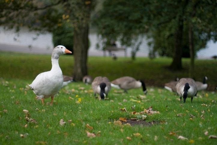 loose goose (with ducks, shucks!)